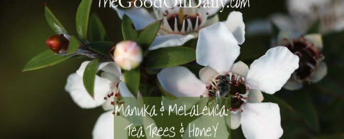 manuka melaleuca essential oil, young living, the good oil daily
